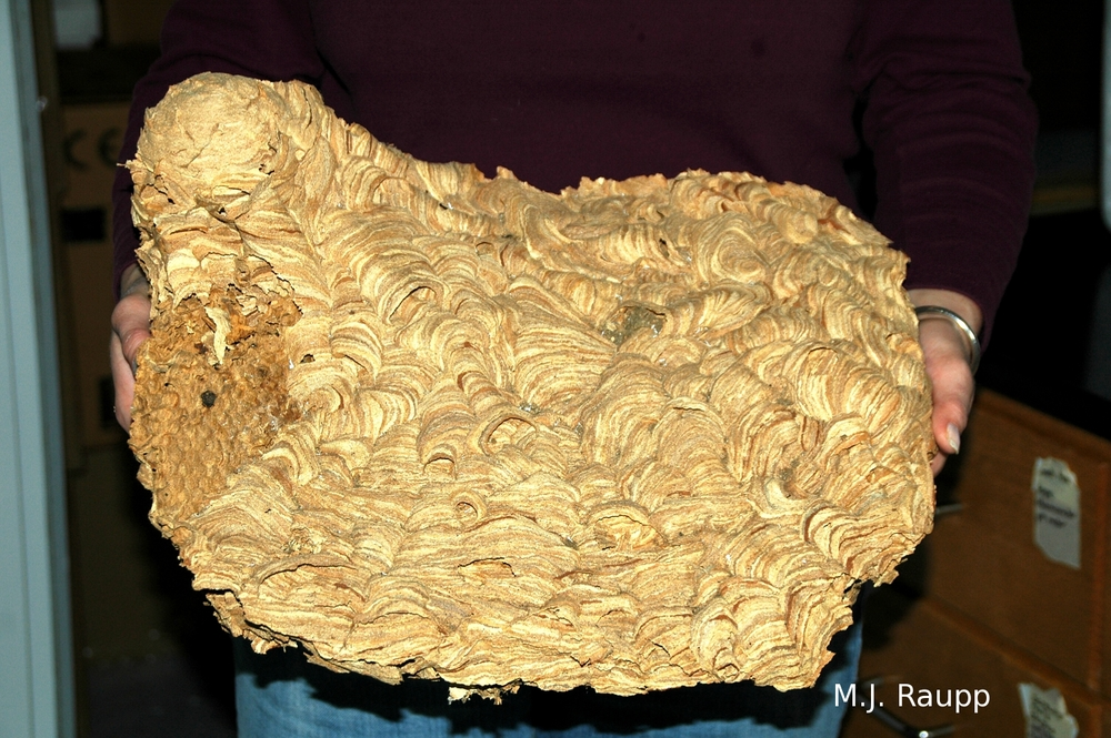 This spectacular European hornet nest was recovered during a home renovation.
