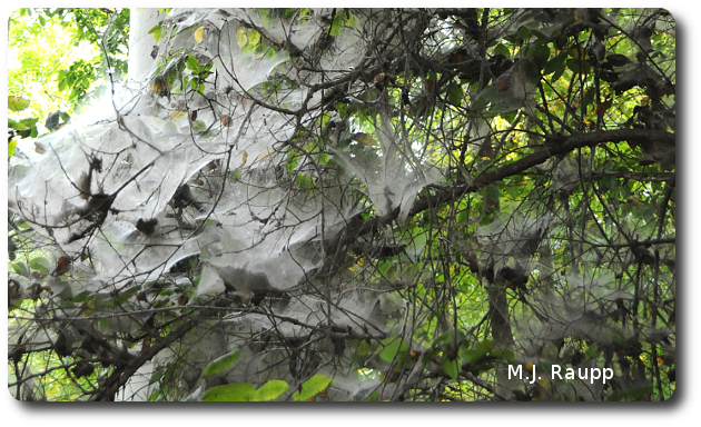 Webs of social spiders cloak a spooky tree.