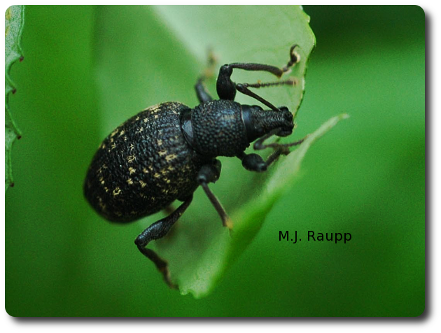 Black vine weevils enjoy tender leaves.