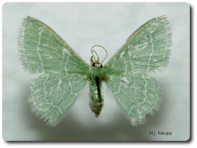 The blackberry looper turns into a beautiful emerald green moth.
