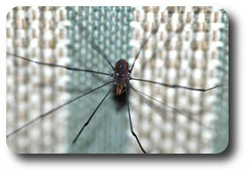 Daddy long-legs, a.k.a. harvestman, does it have the most venomous bite of all eight-leggers?