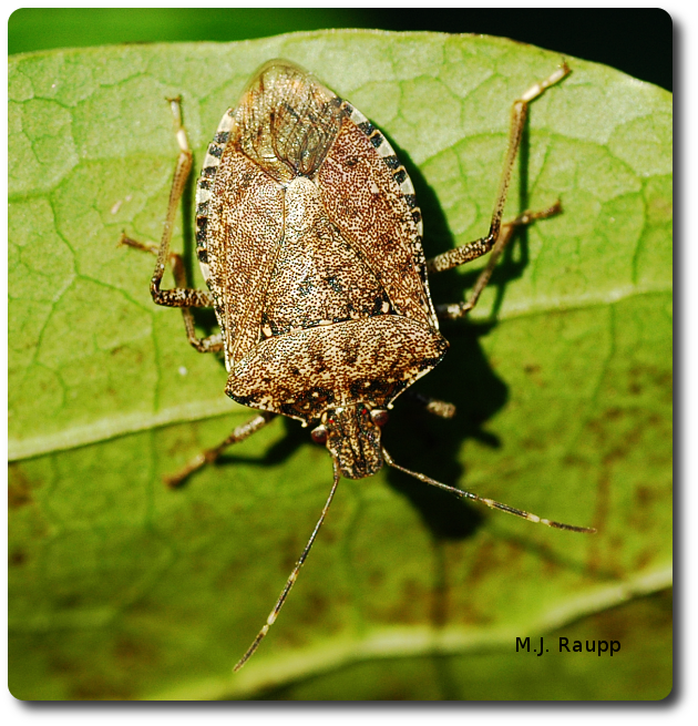 White bands on antennae, legs, and abdomen are characteristic for brown marmorated stink bugs.