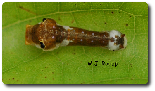 Young tiger swallowtail larvae resemble bird droppings.