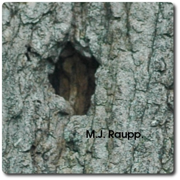 Adult beetles exit the tree through holes in the bark cut by larvae.