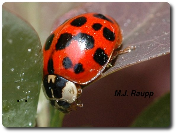Adult multicolored Asian lady beetles may eat more than 200 aphids a day.