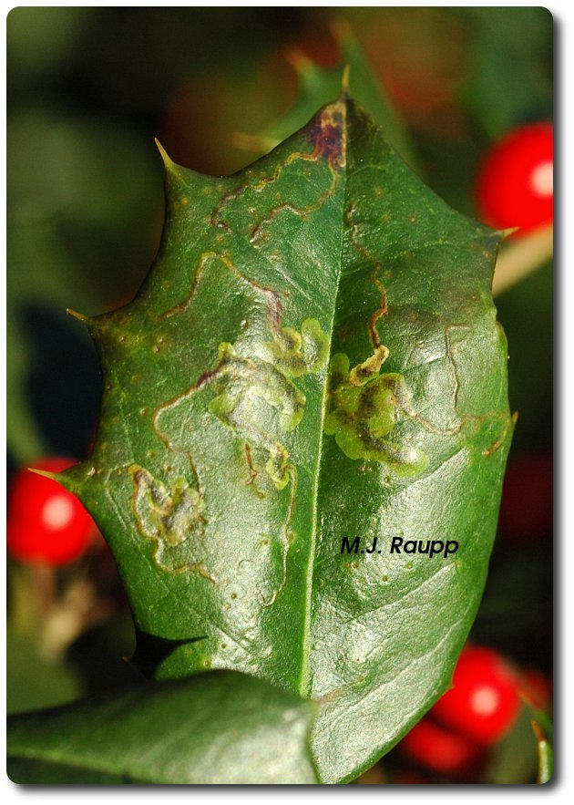 Holly previously occupied by a leaf miner