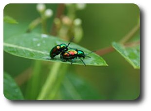 Two dogbane beetles in bliss