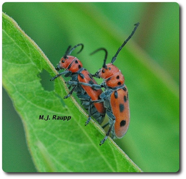 Milkweed longhorned beetles on a date
