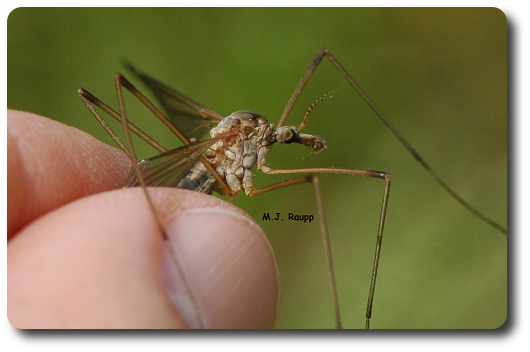 The crane fly is usually mistaken for a mosquito