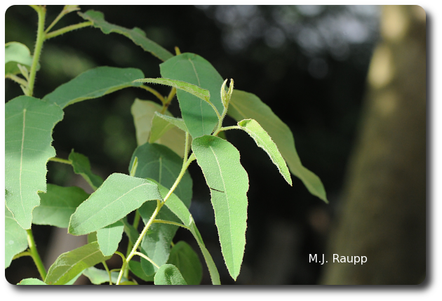 Lemon eucalyptus is the source of a potent mosquito repellent.