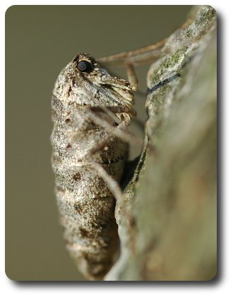 The female fall cankerworm lacks functional mouthparts and does not eat.