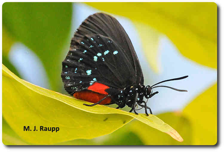 Bright colors of the Atala butterfly warn predators not to take a bite.