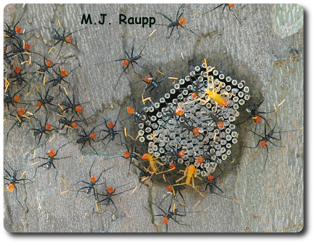Bright red abdomens and orange antennae deck out jazzy assassin bug nymphs as the hatch from their eggs.