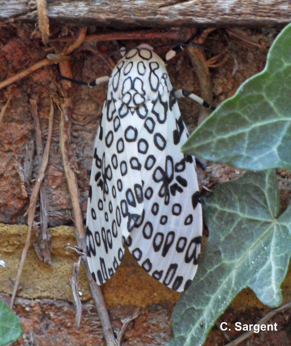 The adult Leopard moth is a thing of beauty with black patterned white wings.