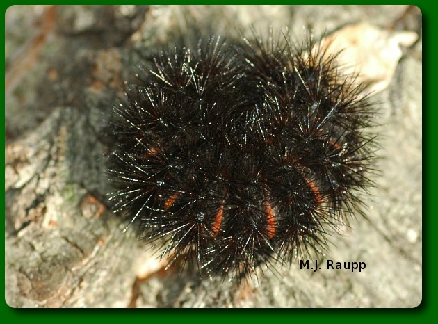 The giant Leopard moth caterpillar curls into a spiny ball when threatened.