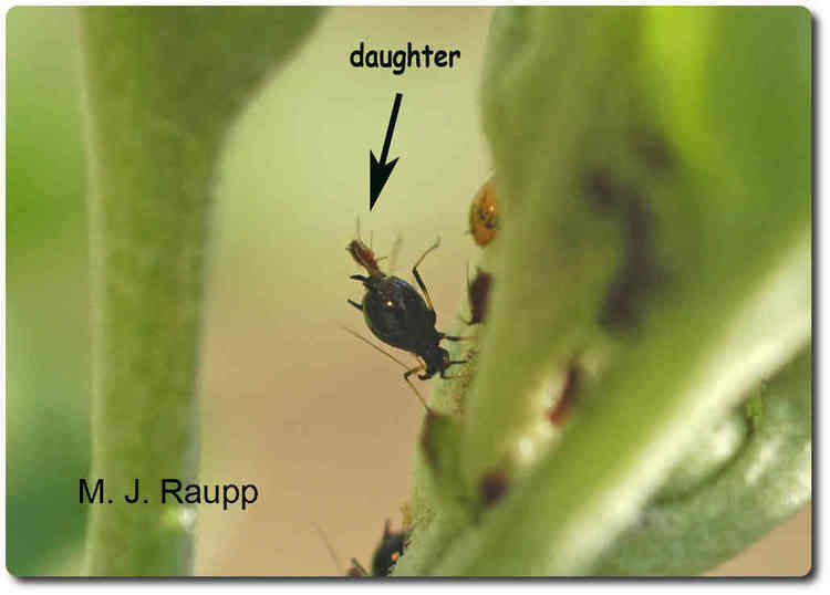 When aphids are born, breech seems to be the rule.
