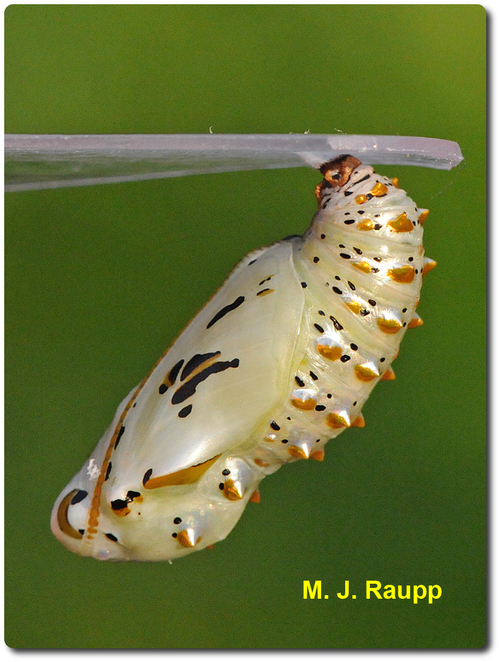 Within a breathtaking chrysalis, the caterpillar becomes a butterfly.