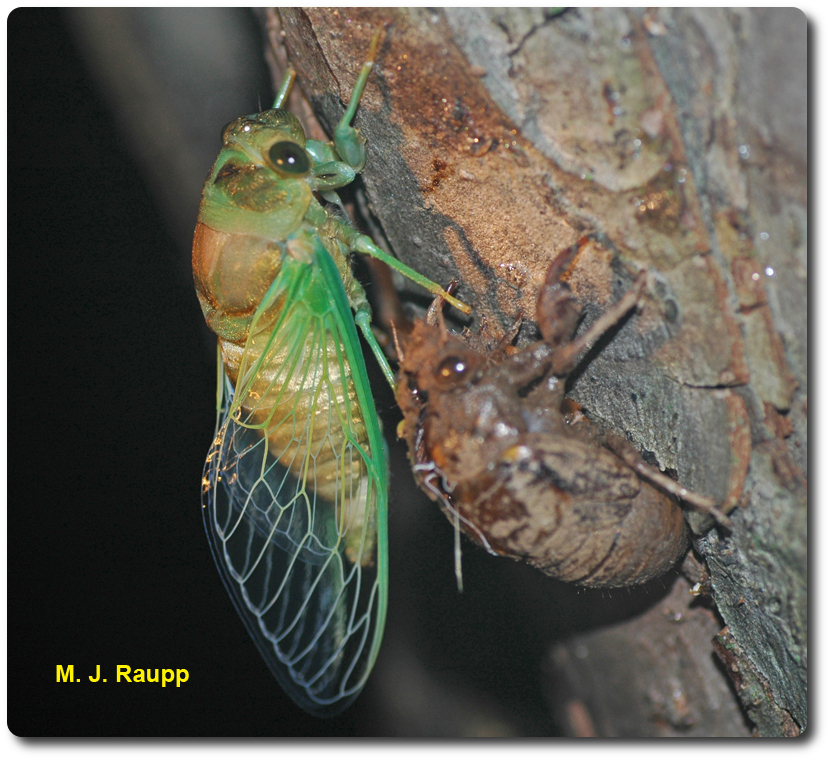 This newly molted dog day cicada waits patiently as its exoskeleton hardens.