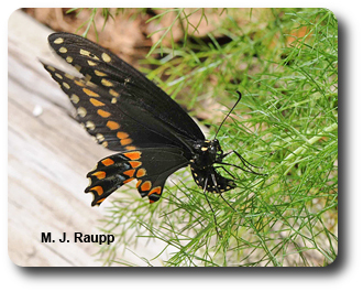 Dill is the perfect plant on which to lay eggs if you are a black swallowtail.