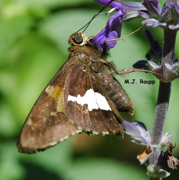 Adult silver spotted skippers are regular visitors to the garden