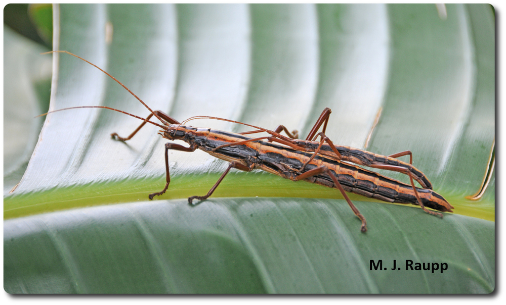 The female walkingstick dwarfs the male riding on her back.