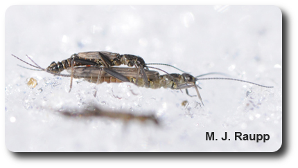 Snow and ice don't cool the romance of winter stoneflies.