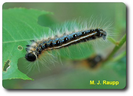 The eastern tent caterpillar is a beautiful beast with blue stripes and patches on the side and a white stripe down the center of the back.