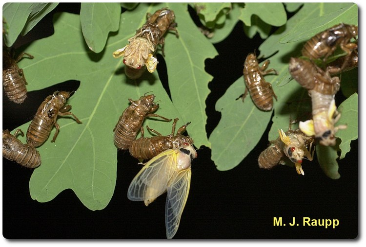 One of the most precarious acts for the cicada is shedding the exoskeleton it wore as a nymph.