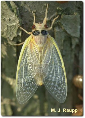Newly molted cicadas are spectacularly beautiful but extremely vulnerable to predators.