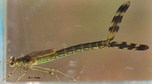 Leaf-like gills on the tail of the damselfly nymph allow it to remove oxygen from the water.