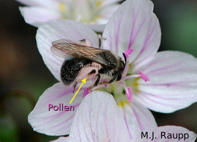 Pink pollen from the spring beauty clings to the legs and body of this solitary bee.