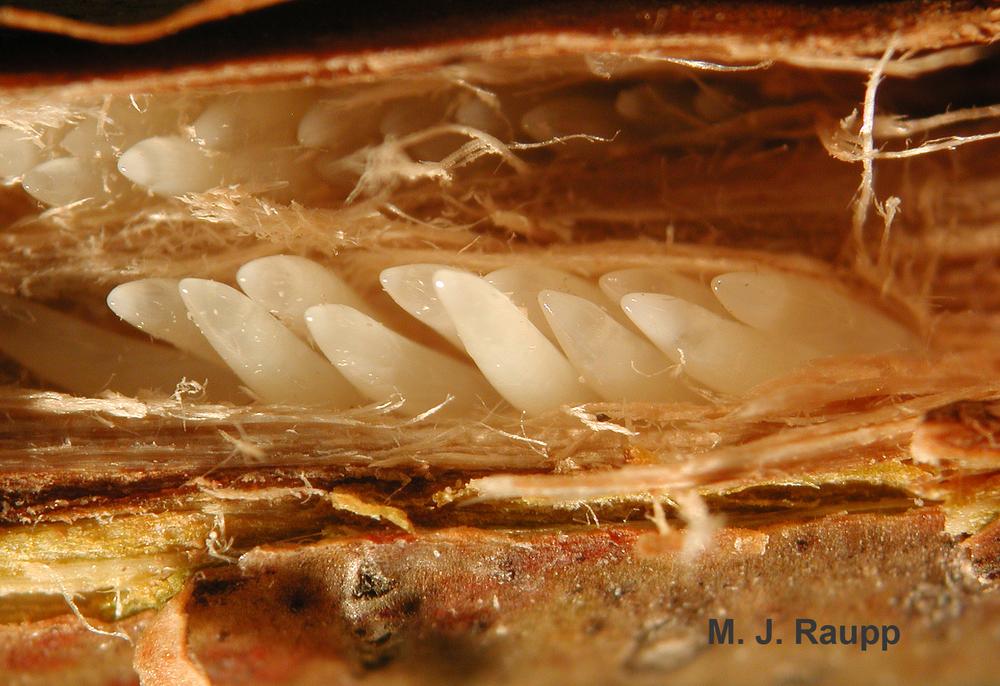cicada eggs - photo #10