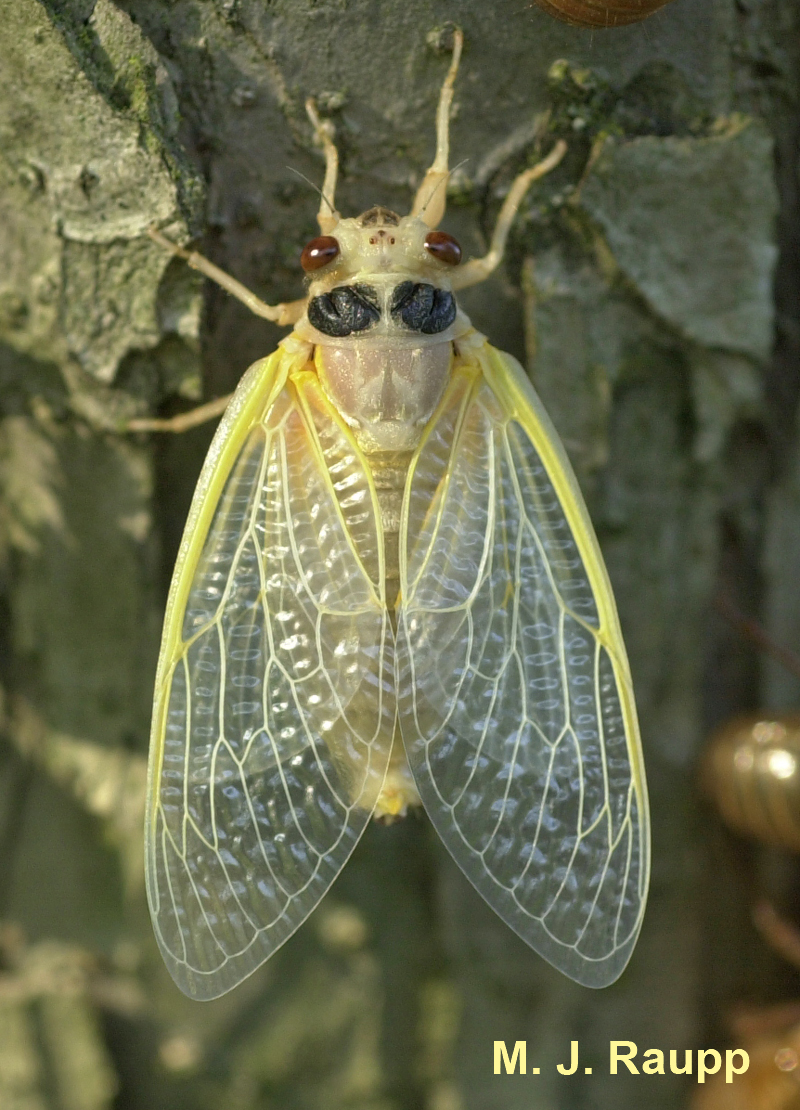 "Newly molted cicadas are spectacularly beautiful but extremely vulnerable to predators.                    96     800x600                  Normal     0                     false     false     false         EN-US     JA     X-NONE                                                                                                                                                                                                                                                                                                                                                                                                                                                                                                                                                                                                                                                                                                                   /* Style Definitions */ table.MsoNormalTable 	{mso-style-name:""Table Normal""; 	mso-tstyle-rowband-size:0; 	mso-tstyle-colband-size:0; 	mso-style-noshow:yes; 	mso-style-priority:99; 	mso-style-parent:""""; 	mso-padding-alt:0in 5.4pt 0in 5.4pt; 	mso-para-margin:0in; 	mso-para-margin-bottom:.0001pt; 	mso-pagination:widow-orphan; 	font-size:10.0pt; 	font-family:""Times New Roman"";}"