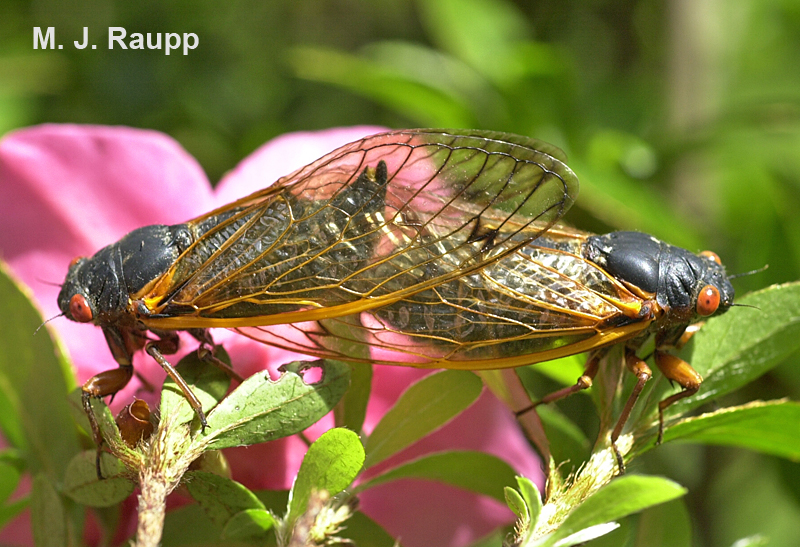 A female (left) and male (right) enjoy a moment of rapture among the azalea blossoms.