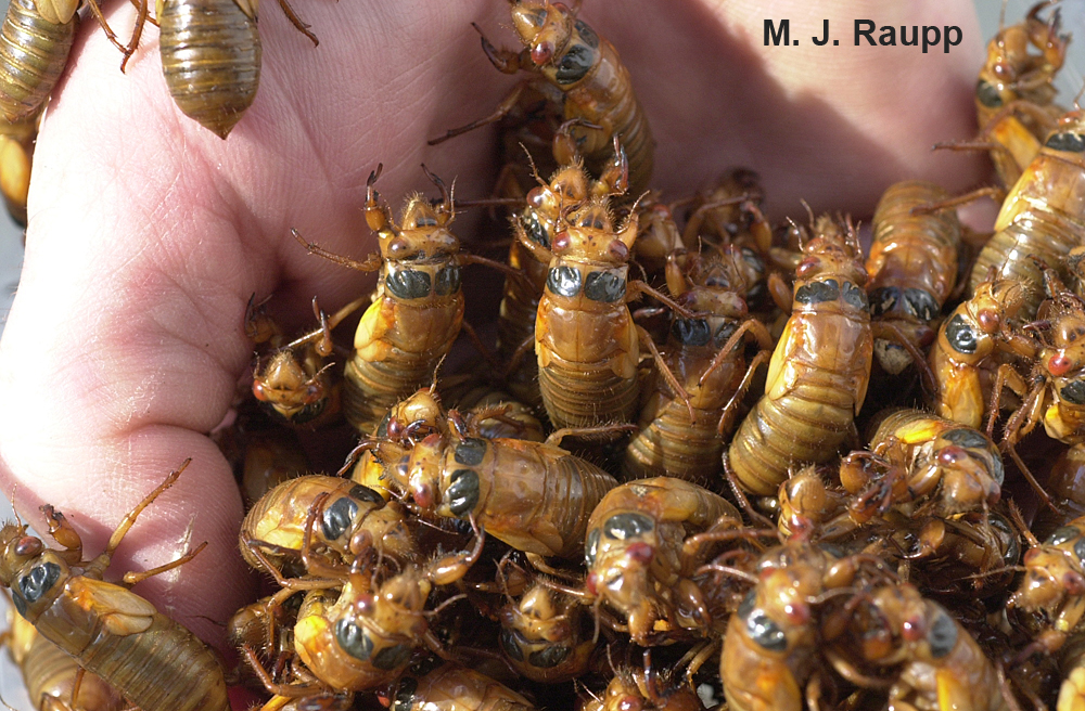In May, cicada nymphs will appear by the handful in areas being treated to Brood II.