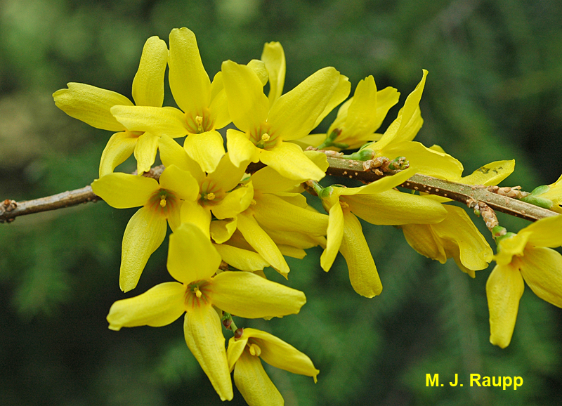 Forsythia blooms are a harbinger of both spring and the appearance of eastern tent caterpillars.