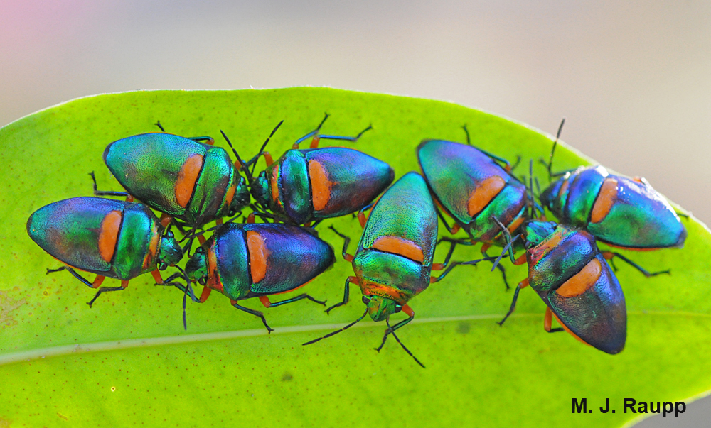 Clusters of gorgeous jewel bugs gather on trees at Katherine Gorge in Australia.