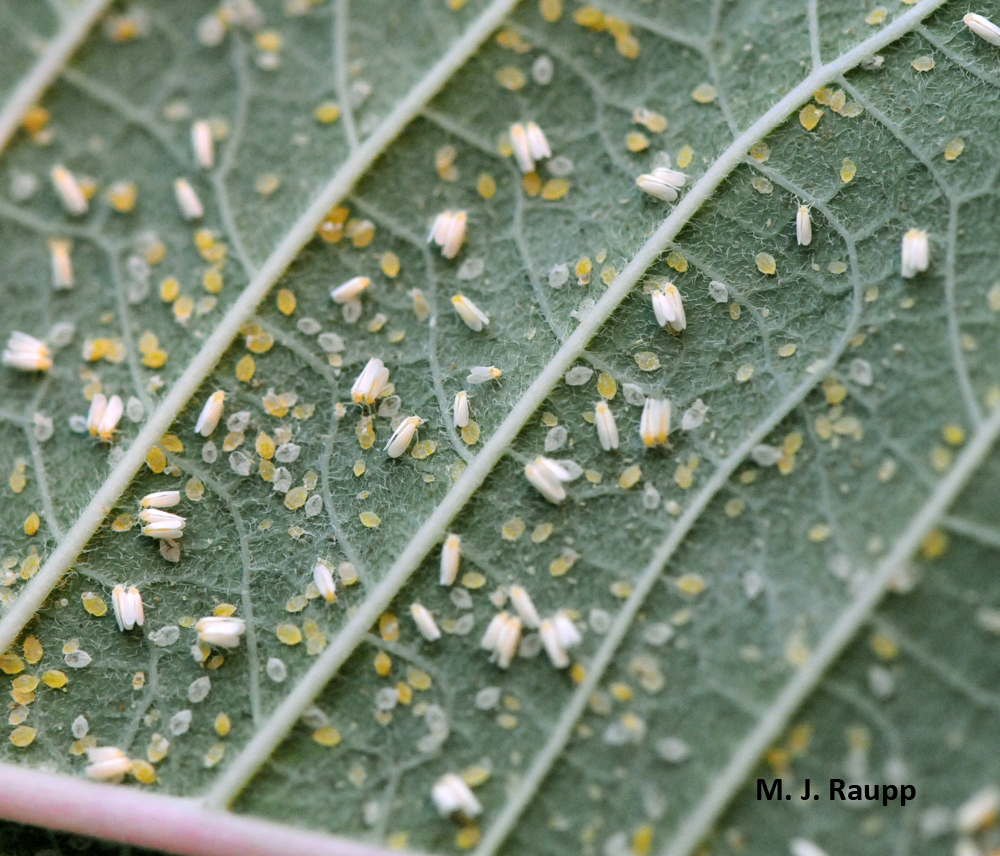 If you are lucky, you may find a colony of whiteflies decorating your holiday poinsettia.