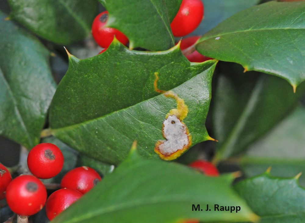 This snakelike gallery ends with a tiny hole, the escape hatch for the native holly leafminer.