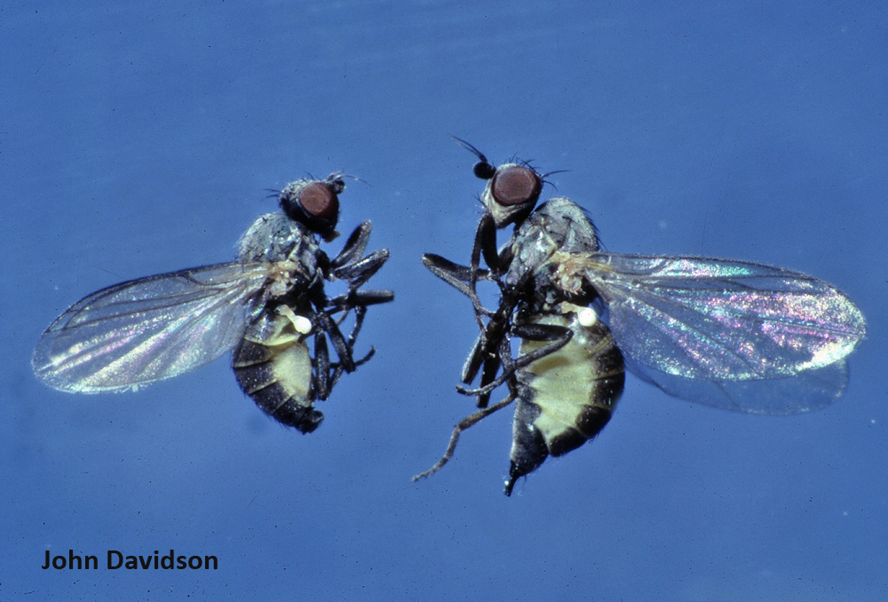 Adult holly leafminers resemble small houseflies.