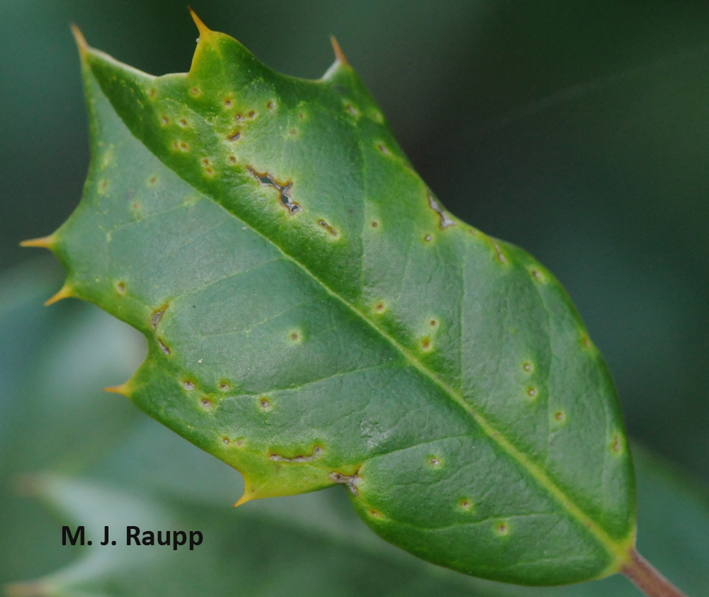 Feeding punctures on the leaf surface may cause leaves to curl.