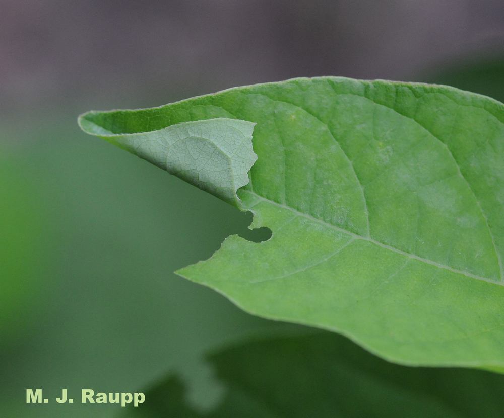 Tiny bite marks and a folded leaf are clues that a caterpillar hides inside.