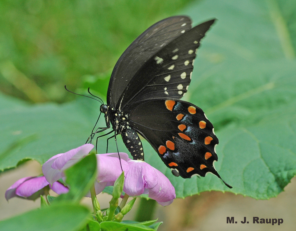 The beautiful spicebush butterfly is thought to mimic the distasteful pipevine swallowtail.