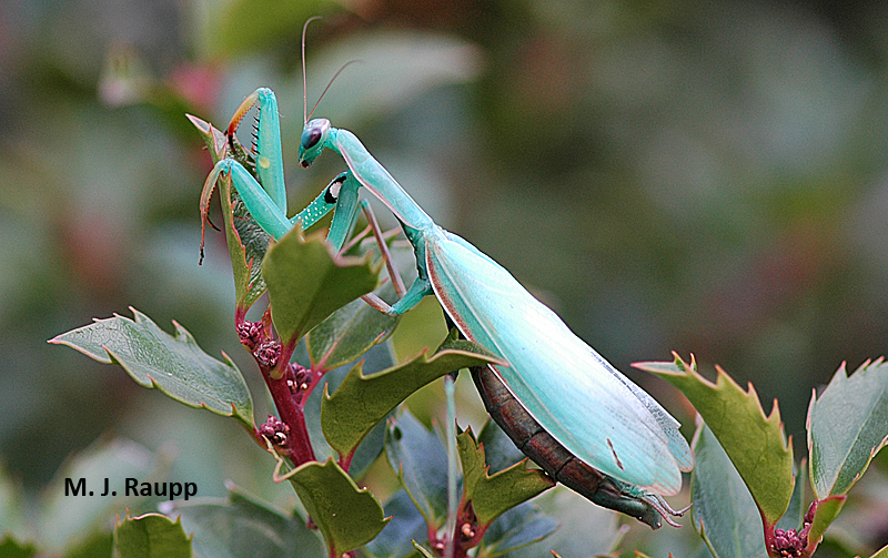 A beautiful European praying mantis rests on a holly shortly before laying her eggs.