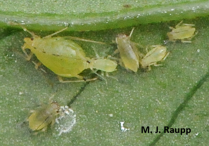 Breech births seem to be the rule for aphids.