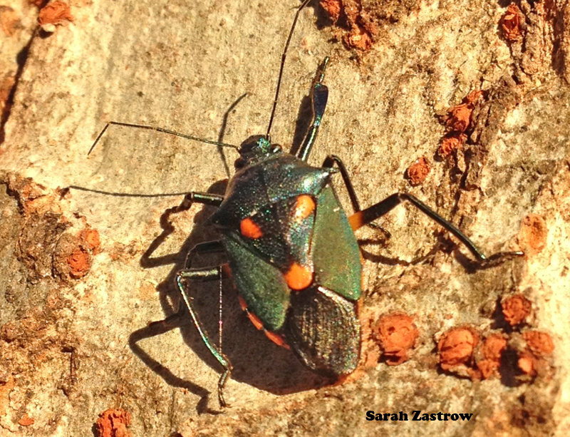 This resident of Florida, a predatory stink bug, was observed chillin' on the bark of an elm tree in College Park last week.