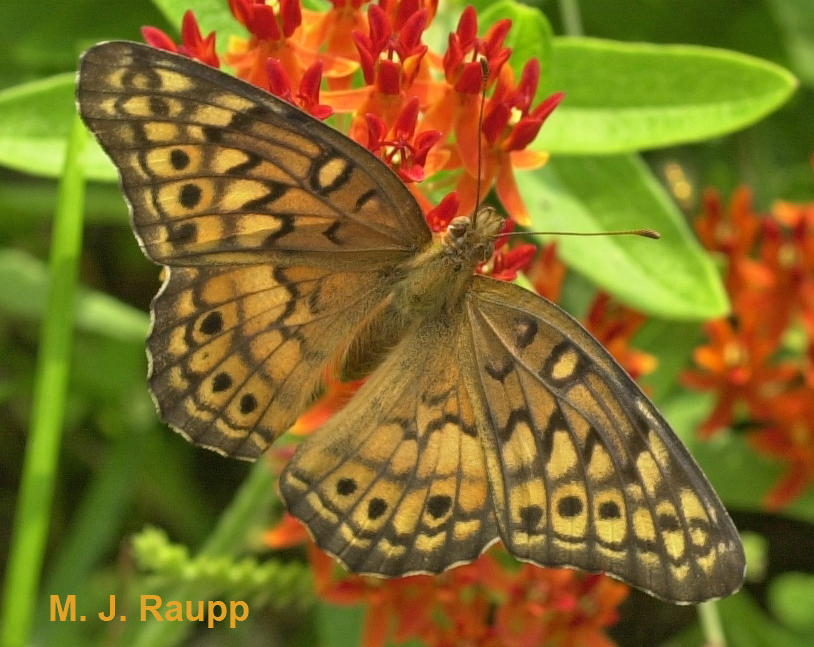 Butterfly weed is a favorite nectar source for the variegated fritillary.