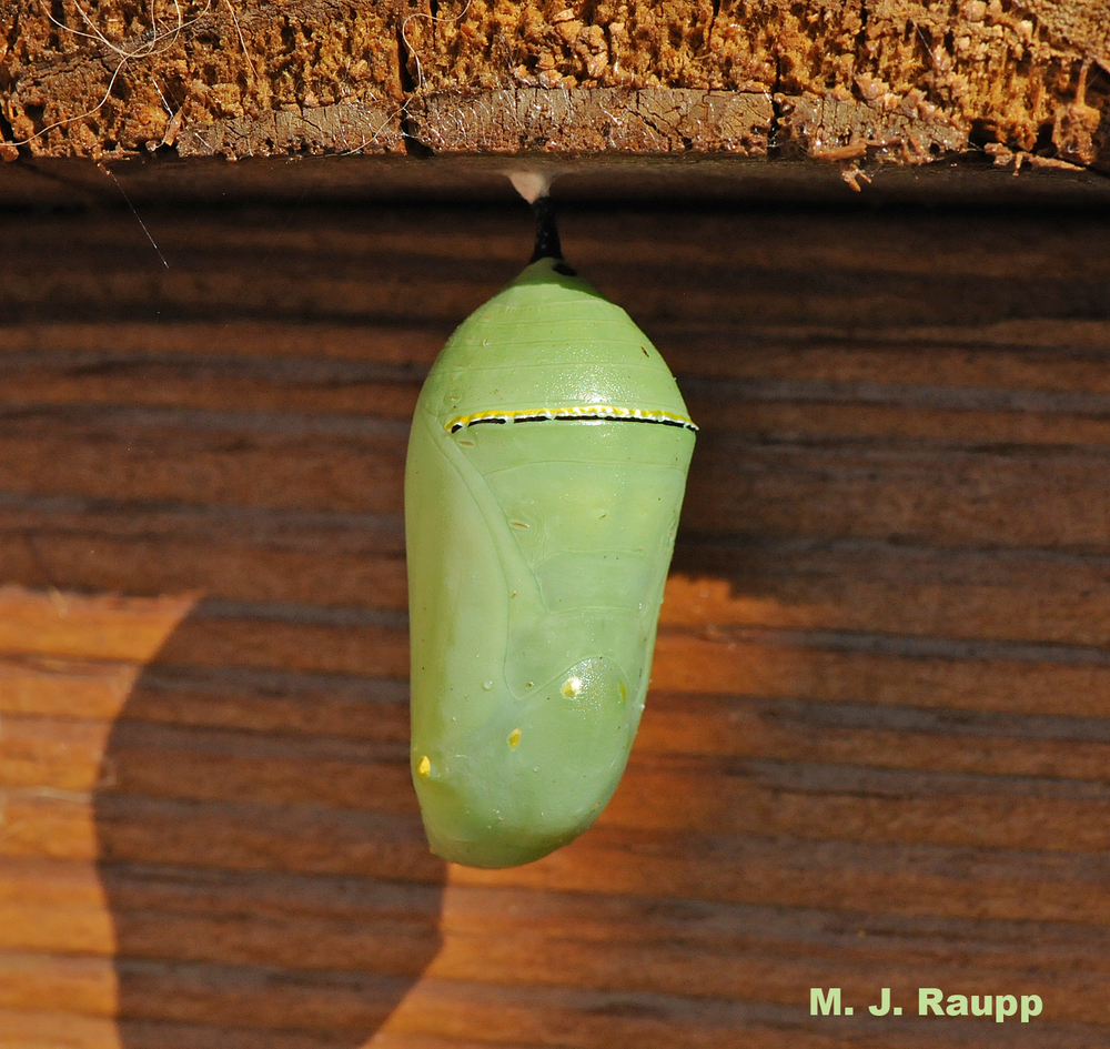In the chrysalis, the caterpillar transforms into a butterfly.