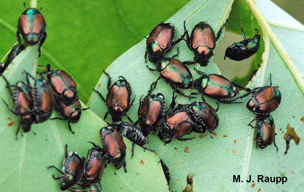 A horde of beetles can put a beating on trees, shrubs, and herbaceous plants.