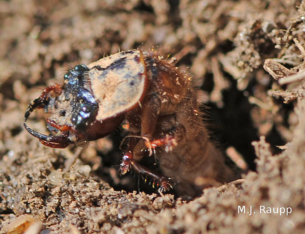 The strange looking tiger beetle larva lives in an underground lair and captures unsuspecting prey that stray too near.